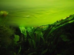 Algues d'eau douce